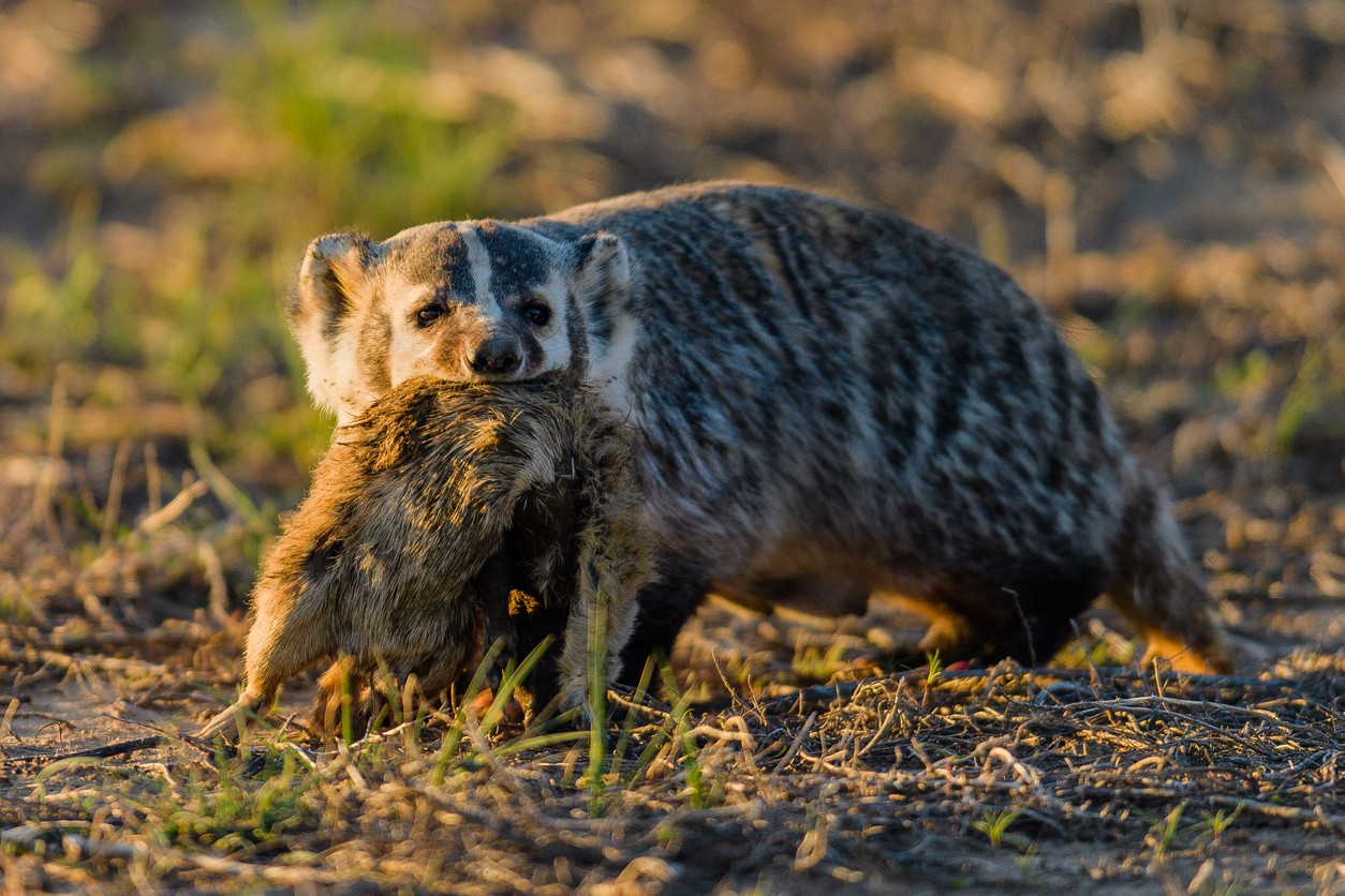 American Badger with recent kill
