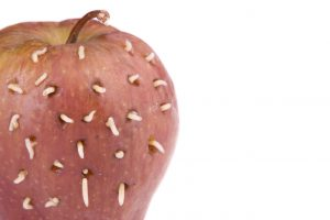 Apple infested with apple fly maggots
