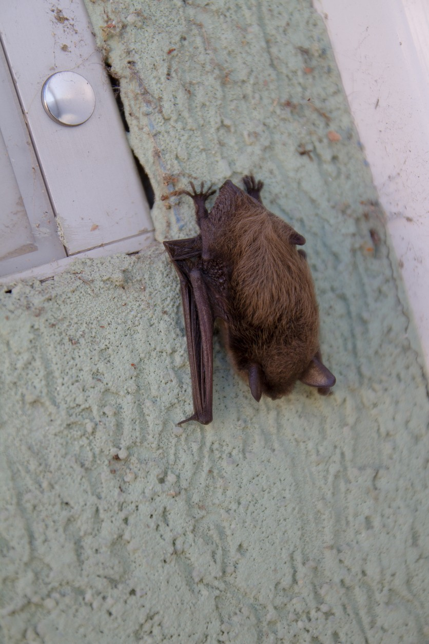 Bat Roosting On House Siding By Window