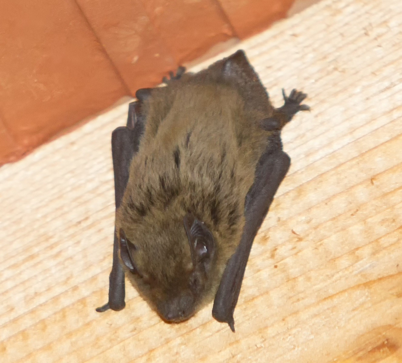 Little Brown Bat Hanging On Wooden Beam Of Ceiling