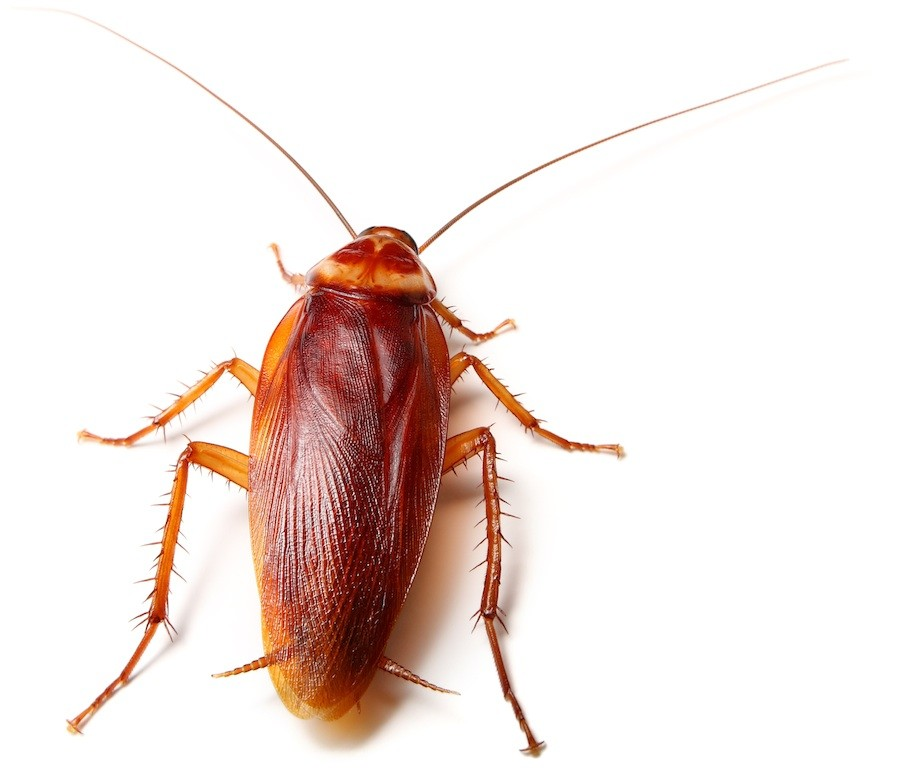 American Roach Control And Treatments For The Home Yard