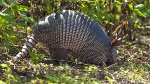 ARMADILLO DIGGING UP GRASS