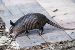ARMADILLO ON THE RUN