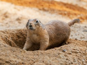 Black-tailed prairie dog digging hole