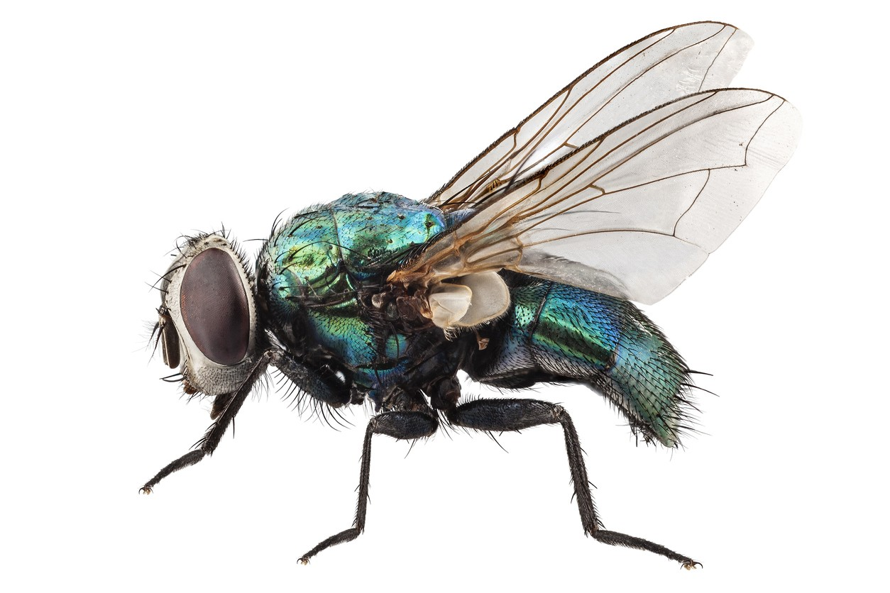 Blow Fly - How To Get Rid Of Common Green Bottle Fly