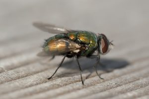 Lucilia caesar blow fly on carpet