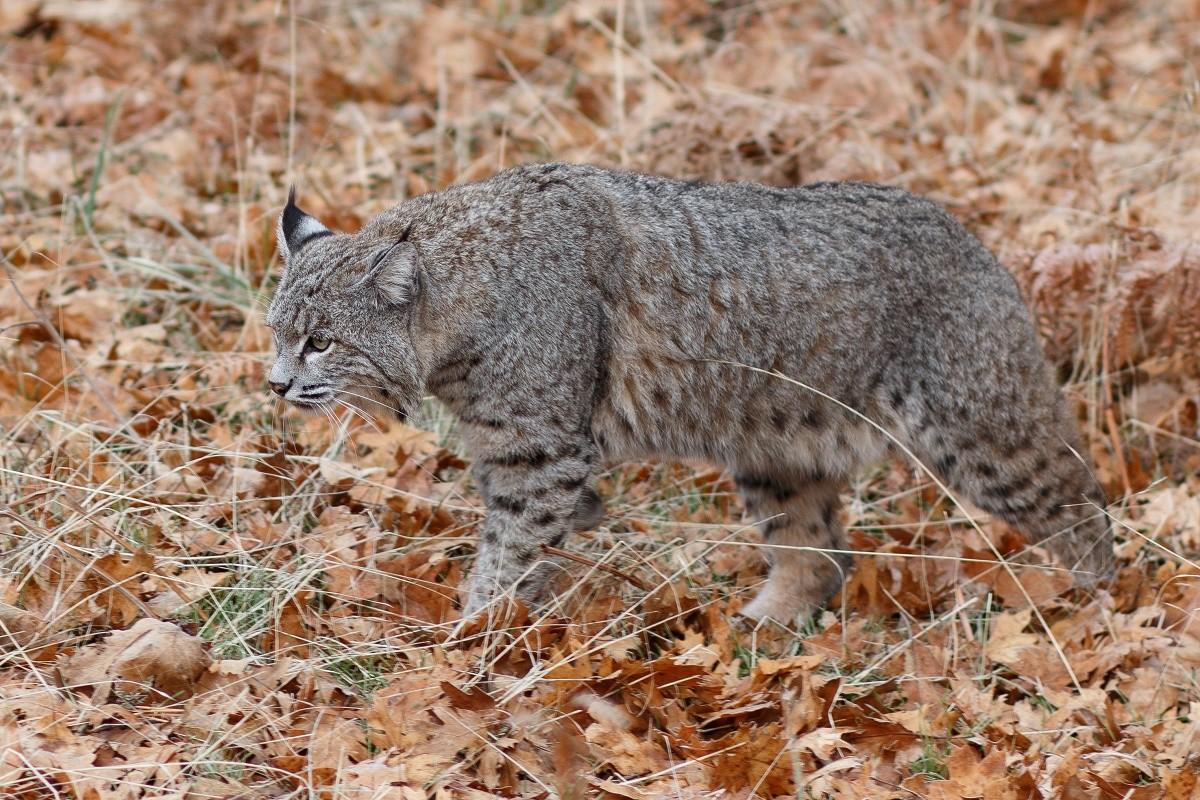 bobcat control using traps lures and repellents