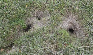 CHIPMUNK BURROW HOLES