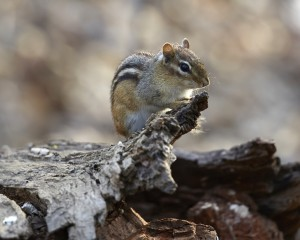 CHIPMUNK PERCHING