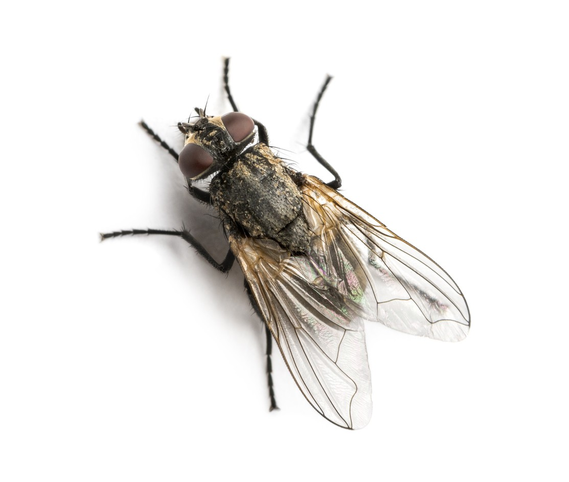 Cluster Fly Control And Treatments For The Home Yard And