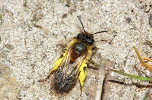 COMMON ANDRENA DIGGER BEE