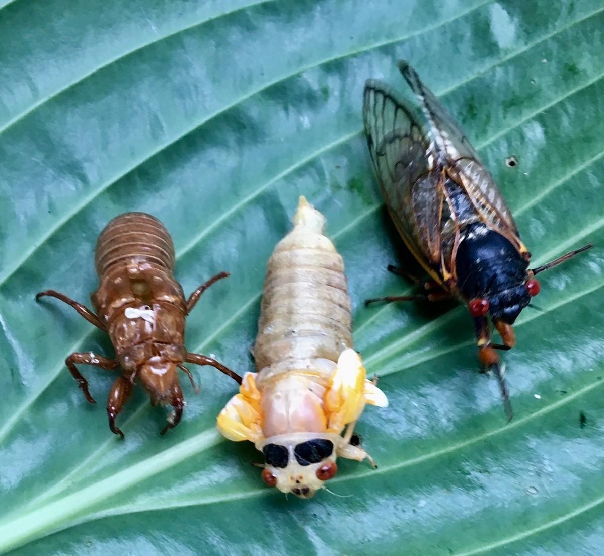 cicada - photo #5