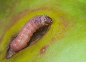 Codling moth larvae eating apple