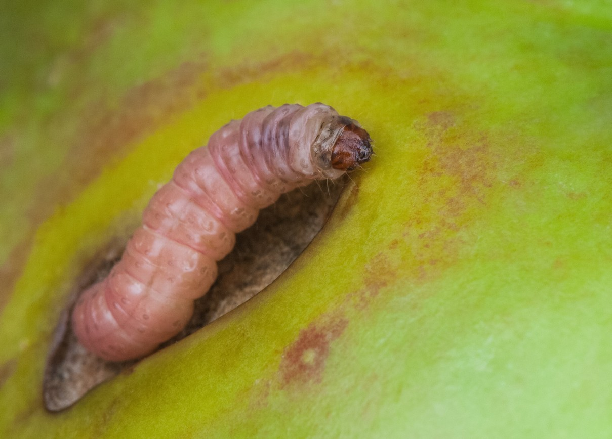 Codling Moth Control And Treatments For Yard Orchard And Garden