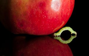 Codling moth larvae will naturally be attracted to apples when they hatch