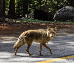 Coyote crossing street in local subdivision
