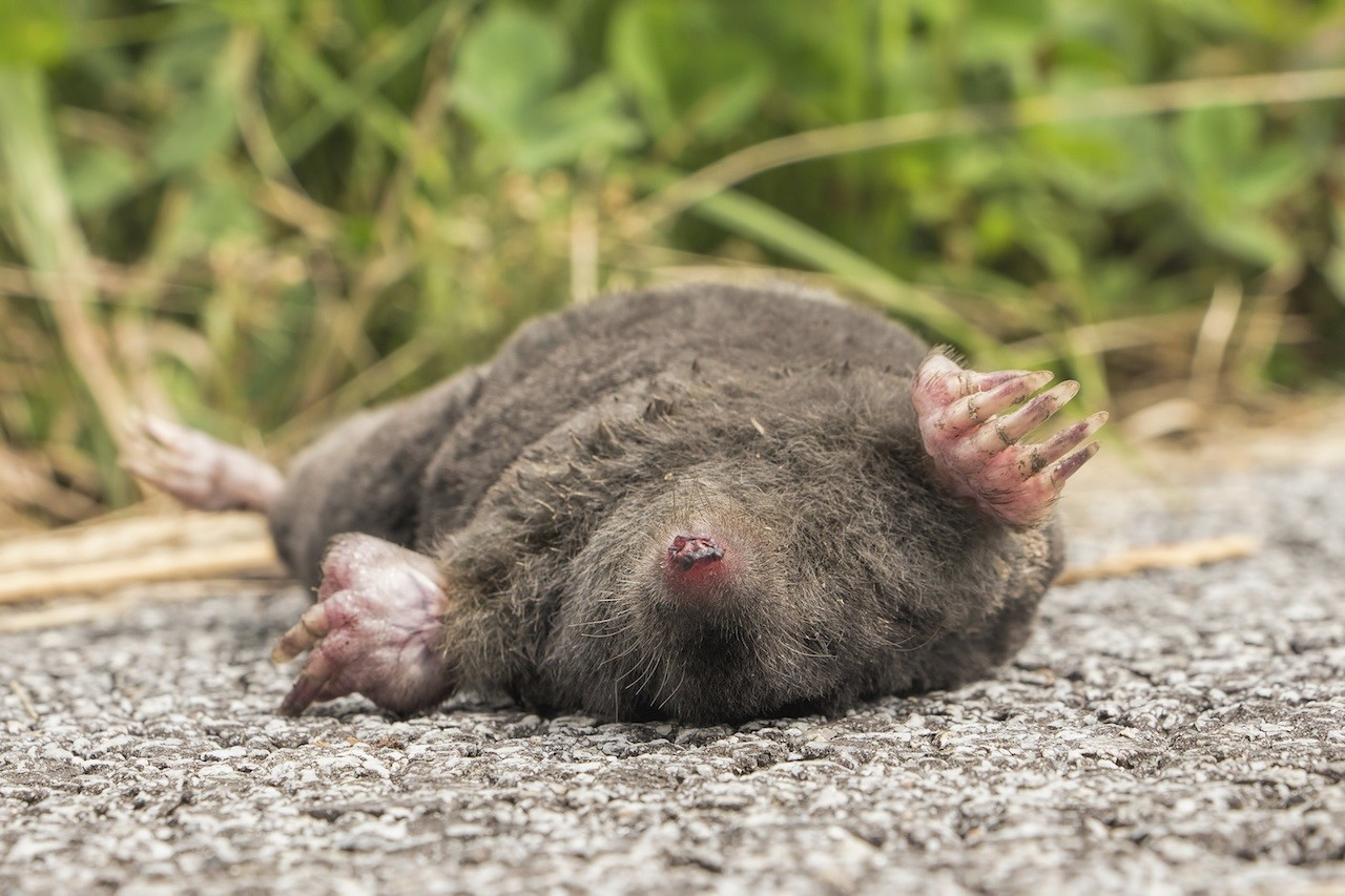 What do moles look like in yard 10
