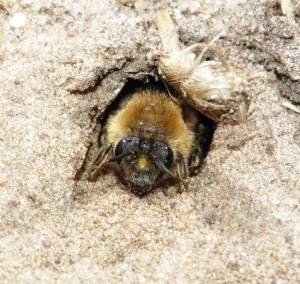 DIGGER BEE IN NEST