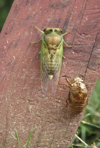 DOG DAY GREEN CICADA