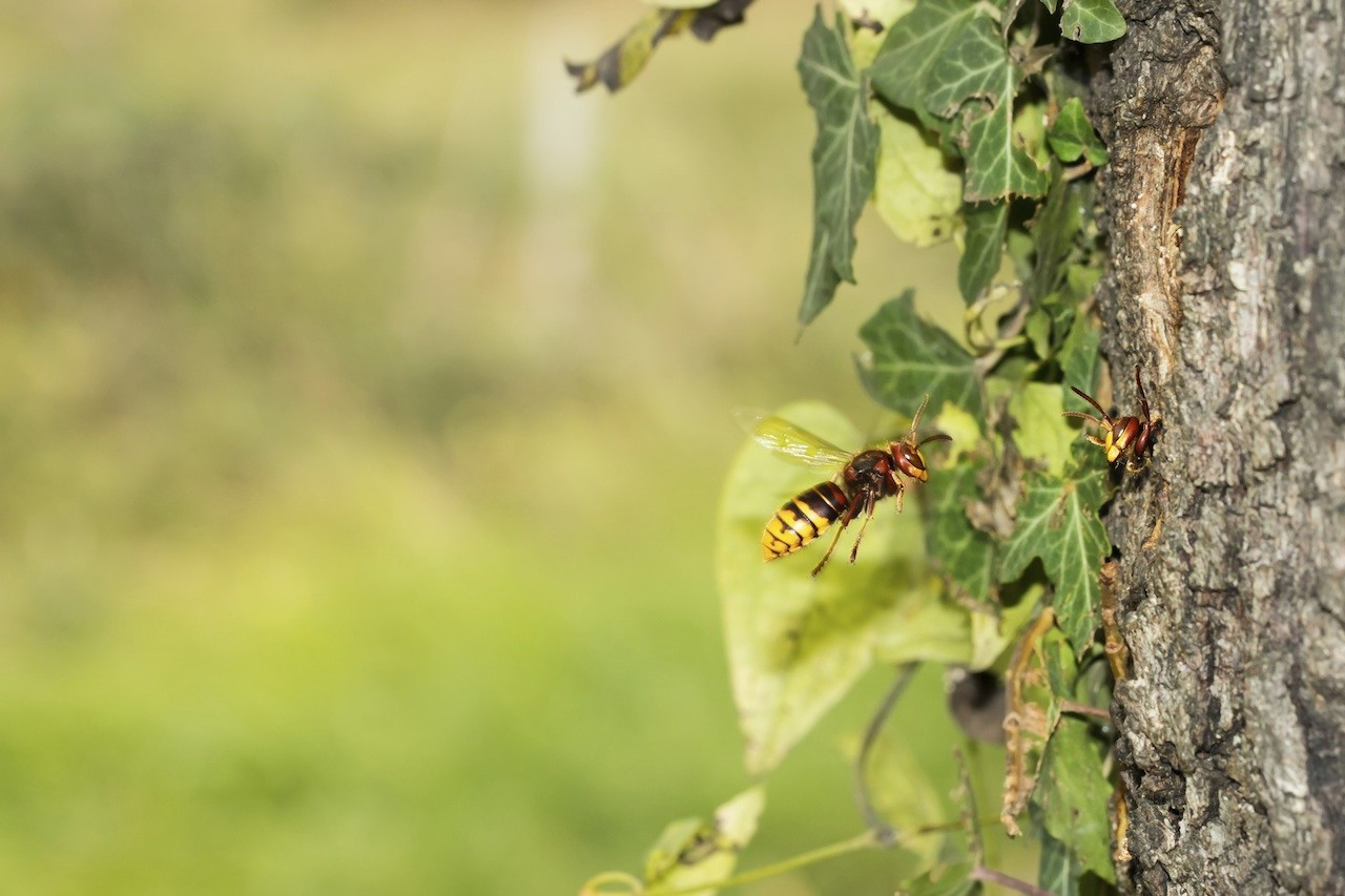 Yellow jackets in ground in winter ohio - European Hornet Nest In Tree