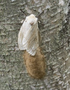 FEMALE GYPSY MOTH LAYING EGG SAC