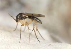 Fungus Fly