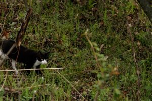Feral cat stalking in yard