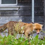 Fox sneaking in henhouse
