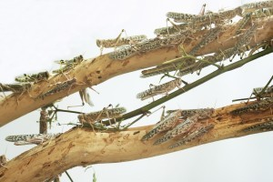 GRASSHOPPERS DEBARKING TREE