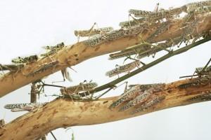 GRASSHOPPERS DEBARKING TREE