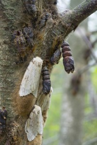 HATCHING GYPSY MOTH PUPAE