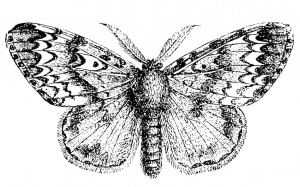 MALE ADULT GYPSY MOTH