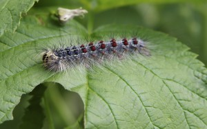 MATURE GYPSY MOTH LARVAE