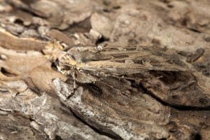 """""""Macro photo of Miller moth Euxoa auxiliaris. In its caterpillar stage, the army cutworm may damage crops, including alfalfa, winter wheat and gardens. Spring flights of miller moths move east to west across the eastern half of the state from moths that developed across eastern Colorado. They fly west and ultimately settle at higher elevations. Birds enjoy eating the moths and even grizzly bears search out the high protein moths in the fall, rolling over boulders to scoop up the moths in the high mountains of Yellowstone National Park."""""""
