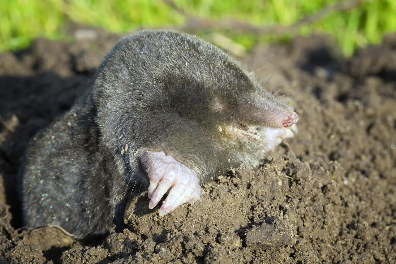 How to trap moles in your yard - Mole In Yard