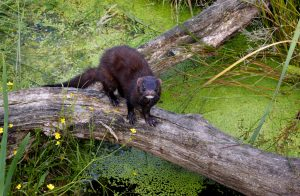 Mink crossing log is a good location for a snare