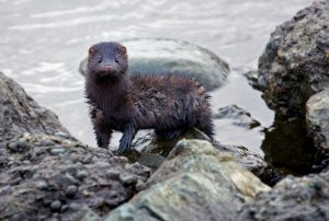 Mink foraging along river shore