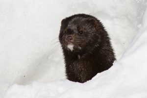 Mink foraging in snow looking for dinner