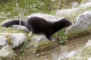 American mink looking for food in a back yard