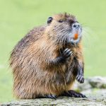 Myocastor coypus known as Nutria
