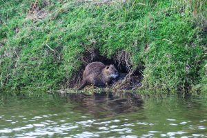 Nutria den (Myocastor coypus) on a river bank