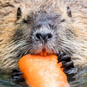 Nutria eating a stolen carrot