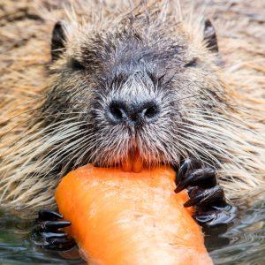Nutria eating a stolen carrot