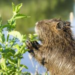Nutria eating green plants in a garden