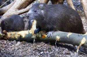 Nutria chewing on tree branch