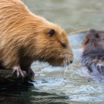 Pair of nutria (also called coypus or beaver rats), one sitting, one swimming in water