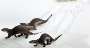 River otter slide