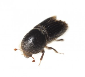 PINE BARK BEETLE