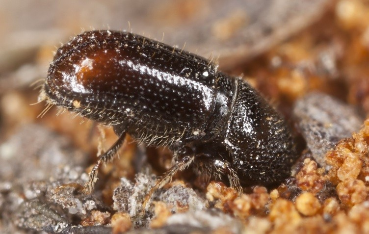 What is a pine borer beetle?