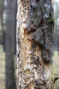 Dead tree by bark beetle infestation.